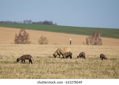 Sheep with lambs on pasture, spring time
