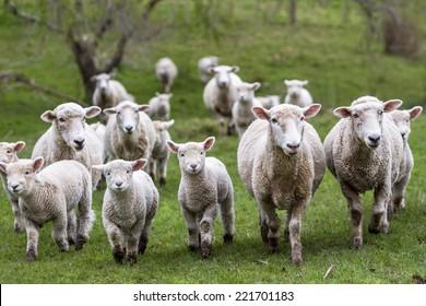 Sheep and lambs in paddock