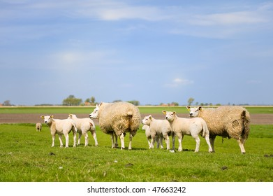 Sheep and lambs in spring at the green fields