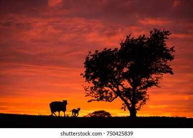 sheep and lambs in the sunset