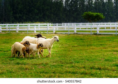 Sheep and lambs were running on grass field