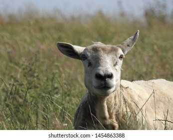 Sheep laying down in a field close up