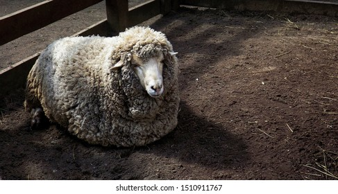 sheep is laying on ground