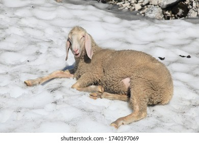 a sheep is laying in the snow