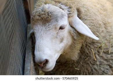 Sheep Leaning on Fence