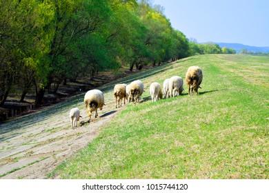Sheep leaving the meadow