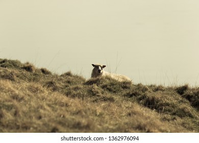 Sheep lies on a yellow autumn grass on a hill. Toned.