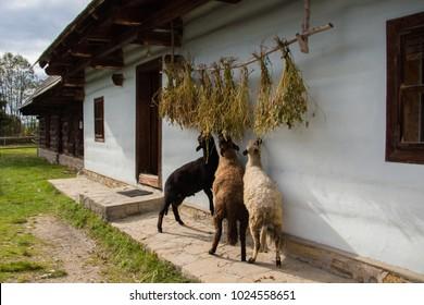 Sheep livestock feeding in a traditional Slovakian village