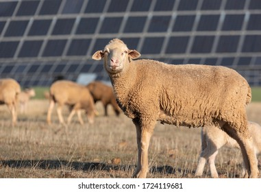 Sheep looking at camera in the field with solar panels