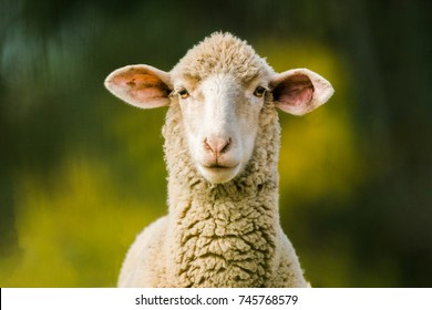 sheep looking at camera on green background. Copy space for text