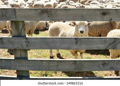 A sheep looking through the fence