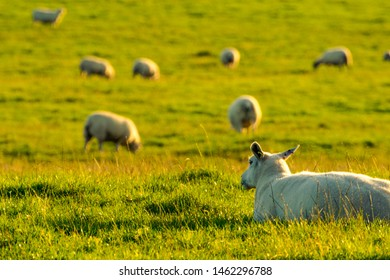 Sheep lying down , in a field, Blackburn, Lancashire, England