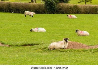 Sheep lying down in field green field in Ireland