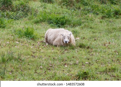 Sheep lying in a field in Brittany