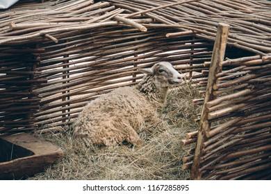 Sheep lying on straw bedding behind wattle fencing