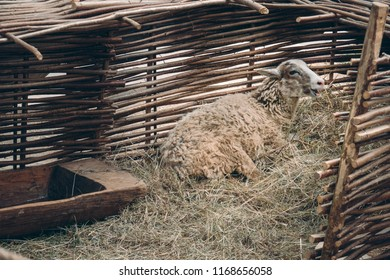 Sheep lying on straw bedding and bleating behind wattle fencing