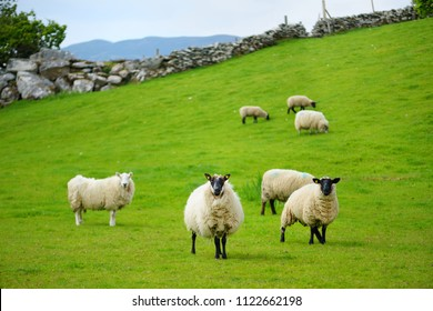 Sheep marked with colorful dye grazing in green pastures. Adult sheep and baby lambs feeding in lush green meadows of Ireland.