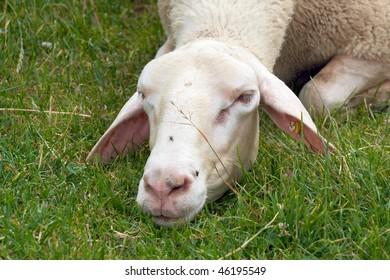 sheep at meadow