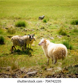 Sheep in a Meadow, Iceland