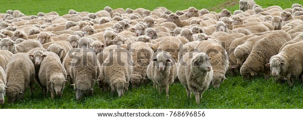 Sheep merino grazing, Australia has about 70000000 million sheep the majority are fine wool producing  merino, their wool is exported all over the World,