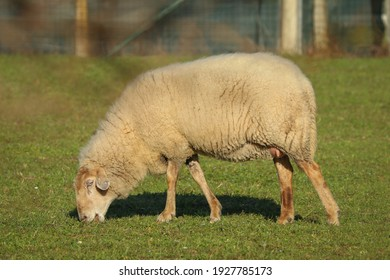 Sheep with with milk-swollen udders grazing in a meadow.