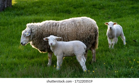 a sheep mother with her baby lambs