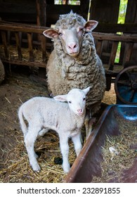 Sheep mother with lamb