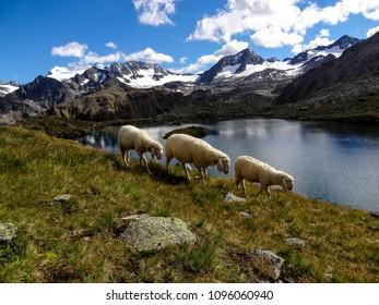Sheep at mountain lake