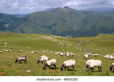 sheep in the mountains of pyrenees, Spain