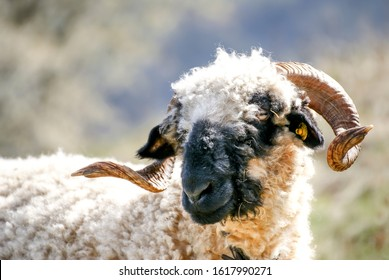 sheep in mountains with twisted horns, Valais black-nosed sheep