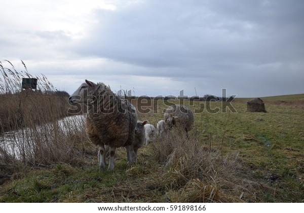 sheep nature