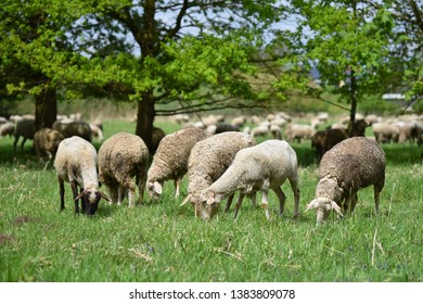 Sheep in nature on meadow. Farming outdoor. Sheep farm.