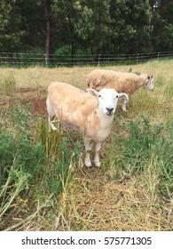 Sheep in nature on meadow. Farming outdoor / sheep looking at camera(me) / at Tasmania, Australia