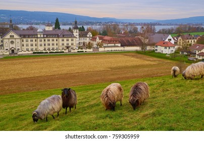 Sheep near Monastery Hegne on Lake Constanz in November, breed of sheep: Grey Horned Heath, Heidschucke
