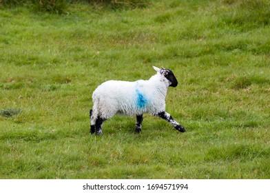 Sheep near Two Bridges Dartmoor National Park Devon England