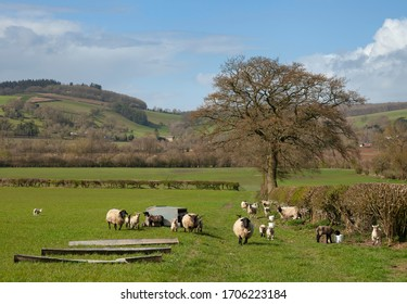 Sheep near Wigmore, Herefordshire, England