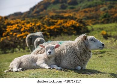 Sheep offspring.