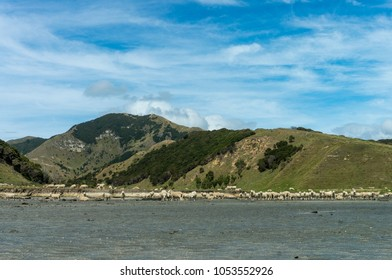 Sheep on the beach at Cooks Cove in the Gisborne Region, New Zealand. This is a hike close to Tolaga Bay.