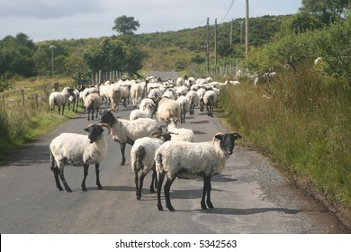 Sheep on a country road, Ireland
