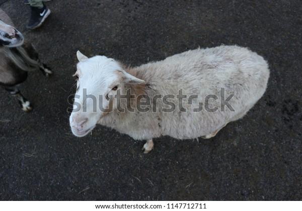 sheep on dark floor