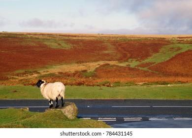 Sheep on Dartmoor, England, UK