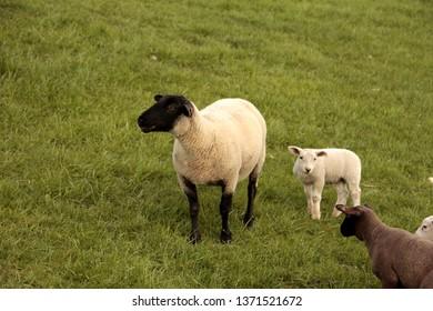 sheep on the dike