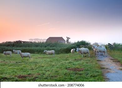 sheep on Dutch farmland by farmhouse in sunrise