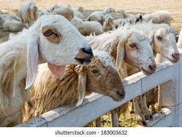 Sheep on the Farm.