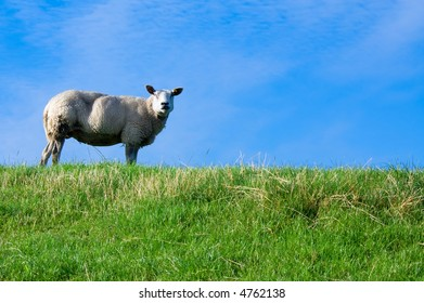 sheep on fresh green grass with bright blue sky