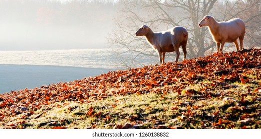 Sheep on frosty fall morning, family farm, Webster County, West Virginia, USA, sheep breed is Katahdin