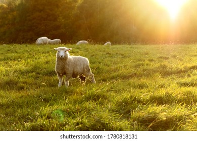 The Sheep on the grass field in the sun set