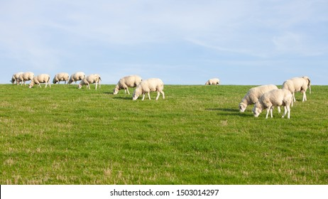 sheep on grassy dyke under blue sky in dutch province of friesland in the netherlands