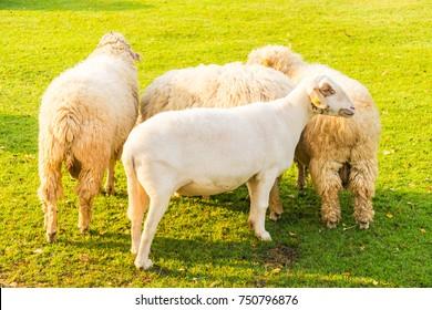 Sheep on green grass in farm