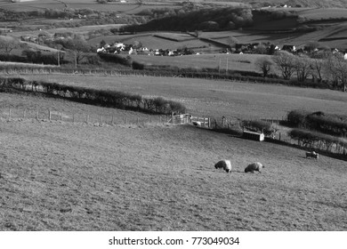 Sheep on a hillside above the village of Broadway, Carmarthenshire, Wales, UK.